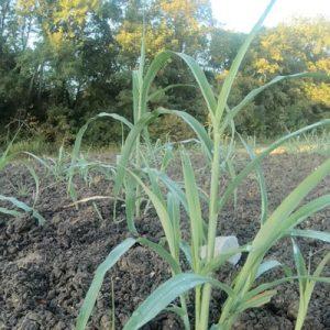 Johnsongrass Johnson grass
