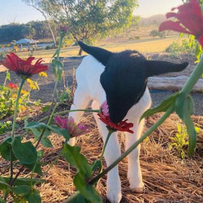 Permaculture & Orphaned Dorper Lambs Help Define Mandleman Manor