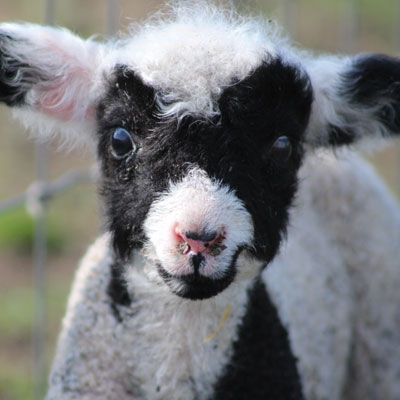 Breed Profile: Get To Know Harlequin Sheep