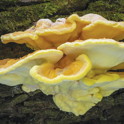 Yes, Chicken Of The Woods Tastes Like Chicken