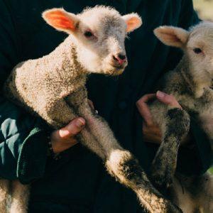 foot rot sheep goats cattle livestock