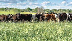 stocker cattle pasture grass cows steer heifers