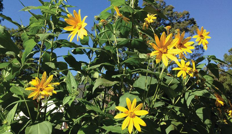 sunchoke sunchokes flower