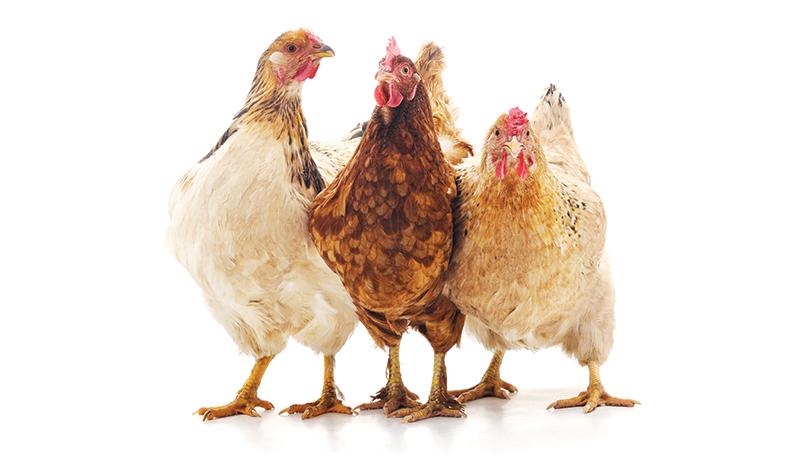 chicken chickens math numbers