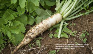 cover crop radish