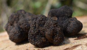 grow truffles growing farm