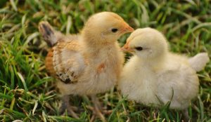 chicks rooster cockerel