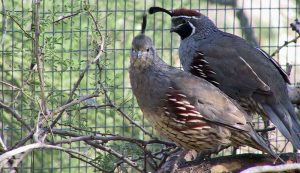 quail have benefits over chickens