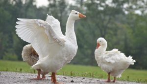 guard geese