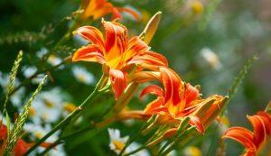 wild found forest daylilies