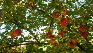 wild invasive apple trees