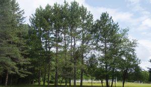 trees windbreak