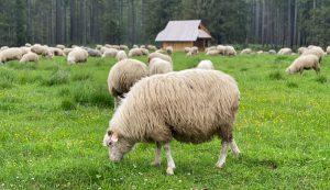 livestock mineral minerals