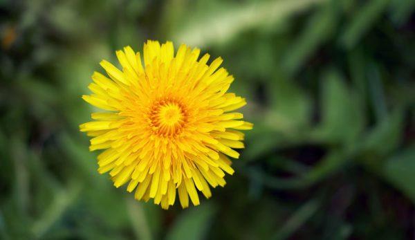 3 Good Reasons To Leave (& Love) Dandelions