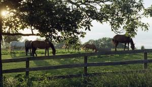 horses on summer pasture