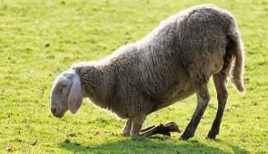 sheep with foot rot