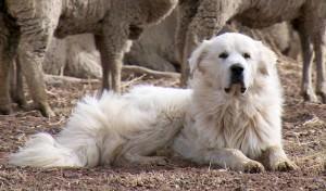 Great Pyrenees livestock guardian dog