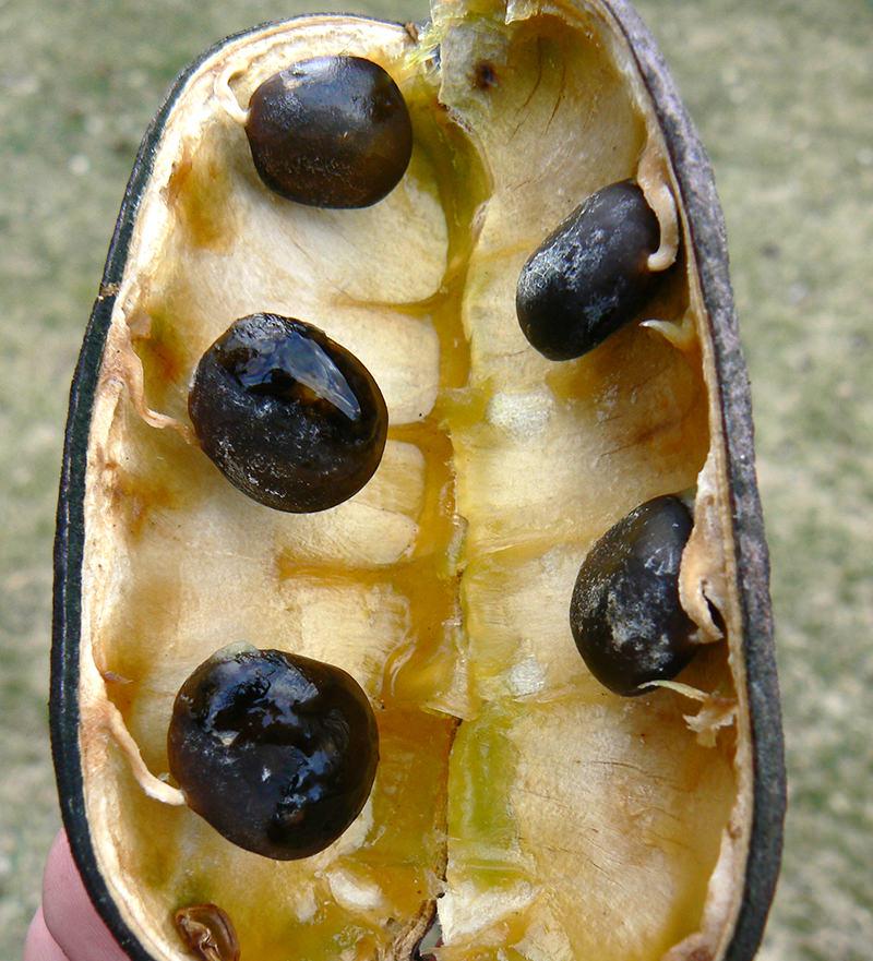 Kentucky coffeetree pod and seeds