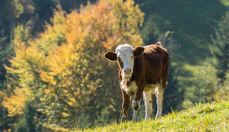 fall calving
