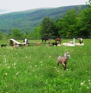 goats on pasture