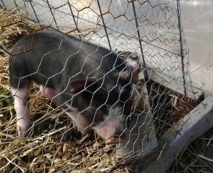 Berkshire piglet