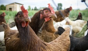poultry farming chickens eggs meat