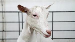 San Clemente goats