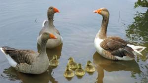 Pilgrim geese