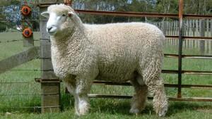 Romney sheep
