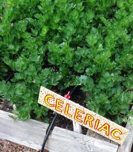 celeriac in the garden