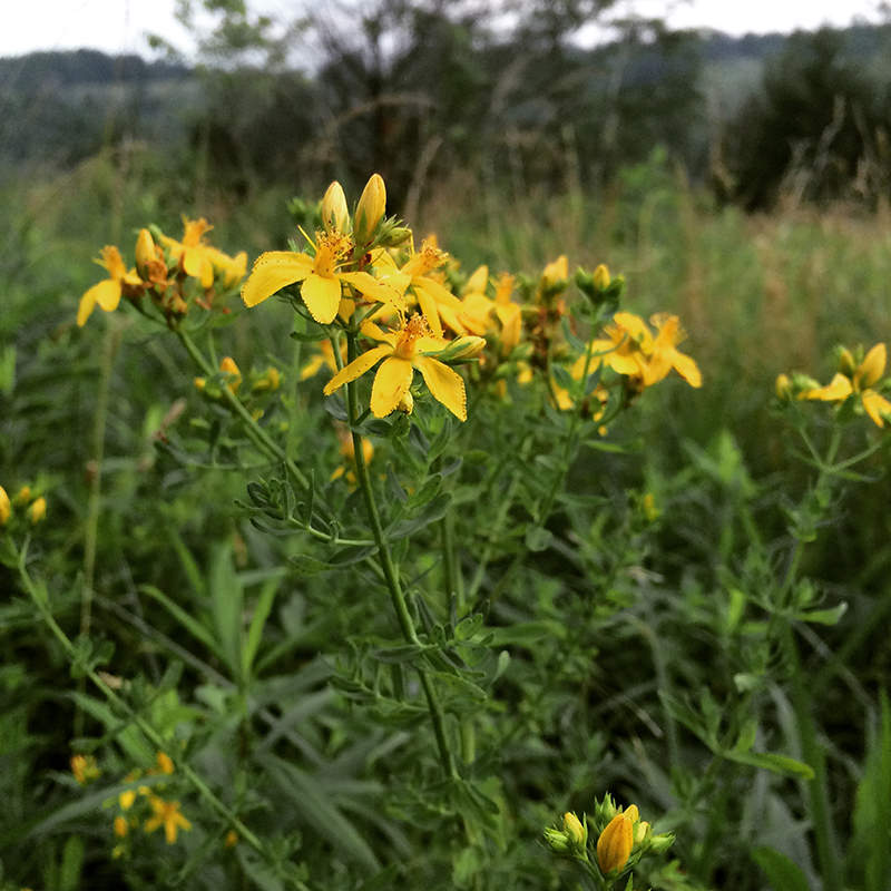 St. John's wort wildflowers