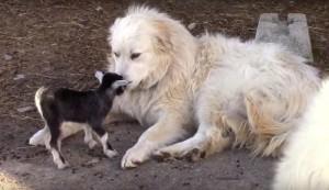 goat and livestock guardian dog