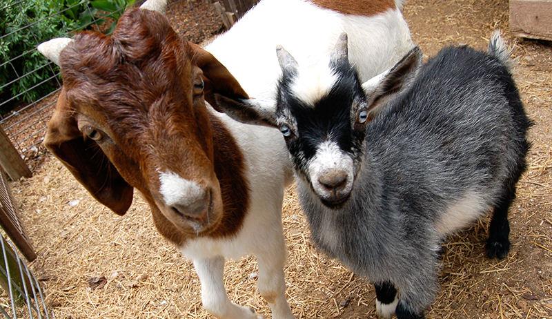 goat herbs