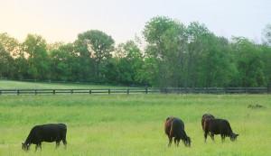 grassfed cattle