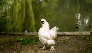 silkie bantam chicken