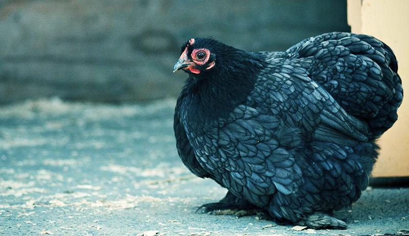 cochin bantam chicken