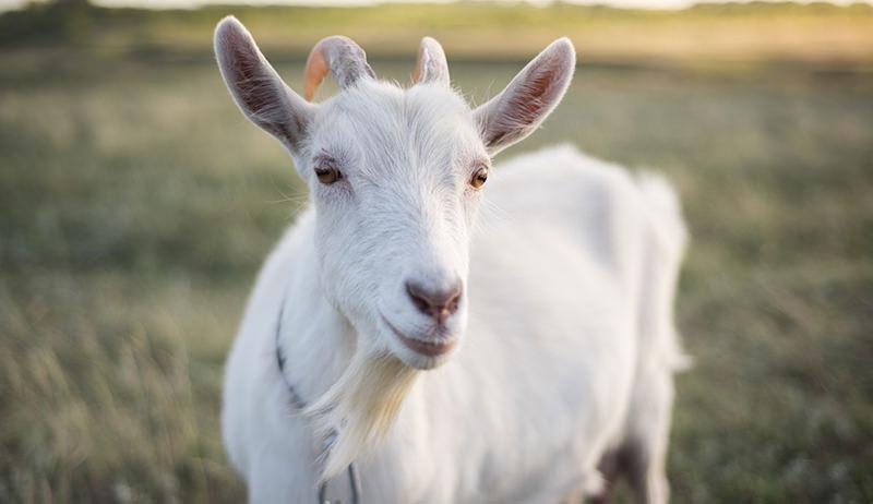 goats fecal egg counts parasites