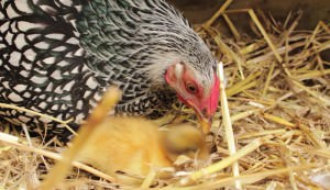 mother hen and duckling