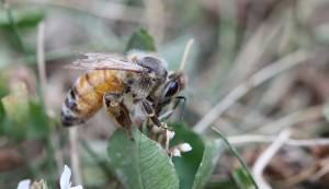 Italian honeybee