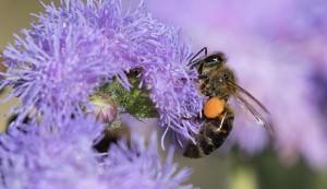 Caucasian honeybee