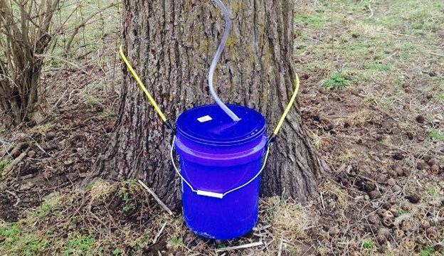 tapping a black walnut tree