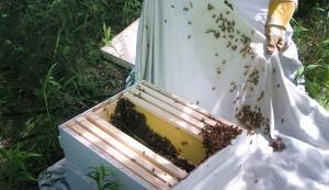 capture bee swarm