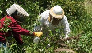spraying sugar syrup on bee swarm
