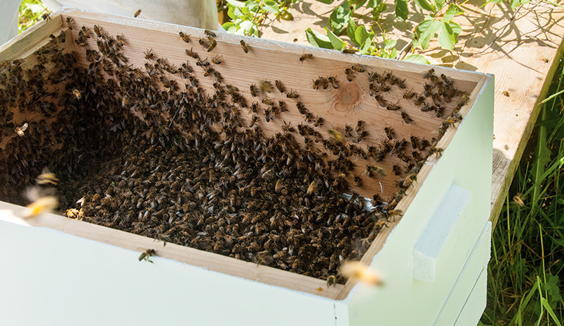 bees in new hive