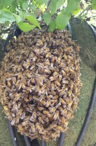 bee swarm outside Grand Central Station