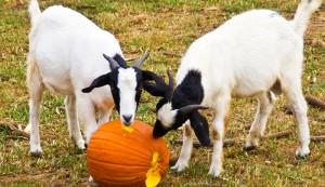 homegrown livestock feed
