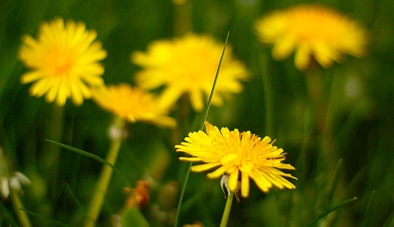 medicinal plant: dandelion