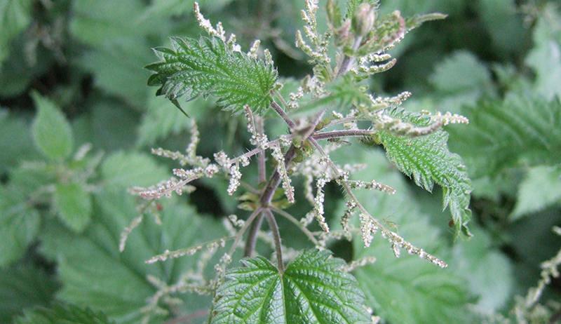 medicinal plant: nettles