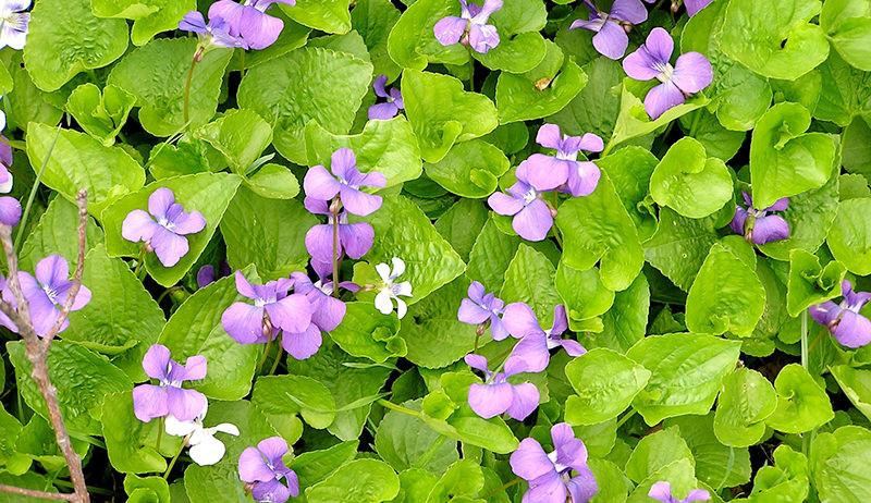 medicinal plant: wild violets