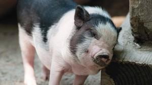 pig, piglet, itchy pig, pig mange